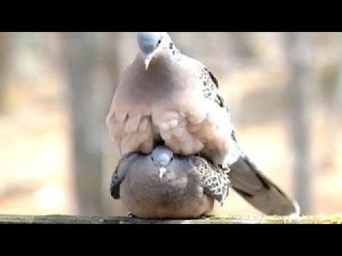 鳥 交尾 仕組み
